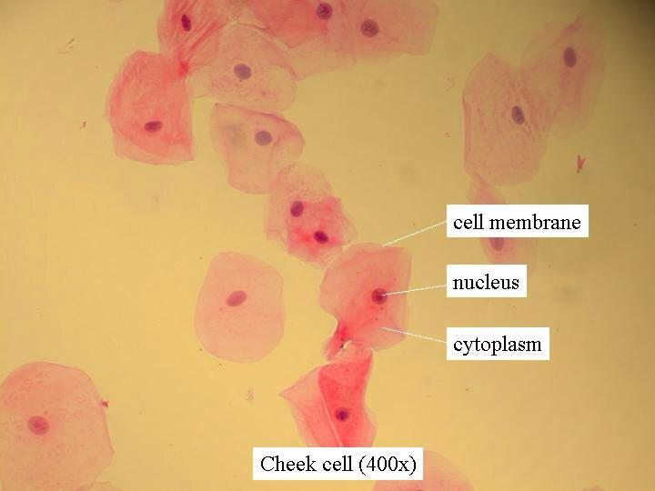 Cheek cell microscope | Pearltrees