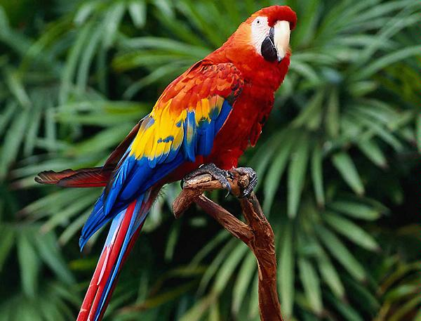 parrot bird pearltrees