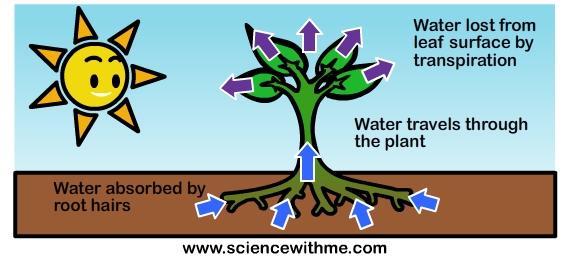 transpiration diagram pearltrees : transpiration diagram - findchart.co