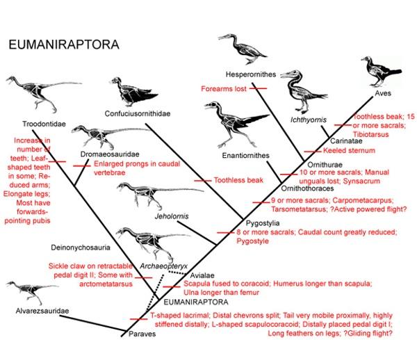 Theropod dinosaur evolution into Birds