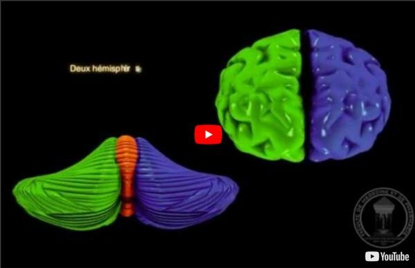 Anatomie du système nerveux : le cervelet.