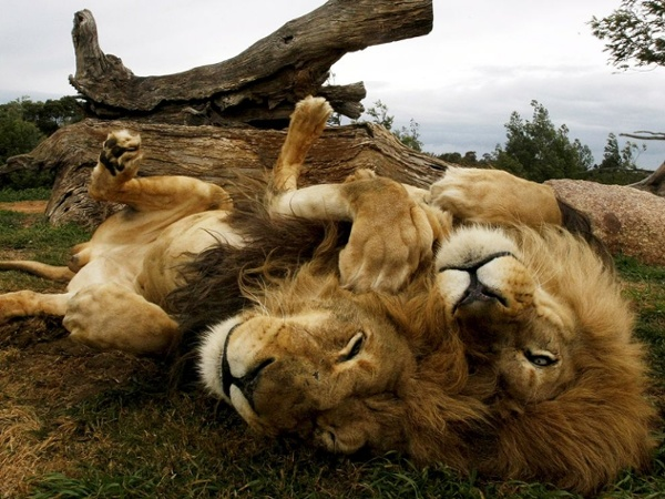 Male lions cuddling