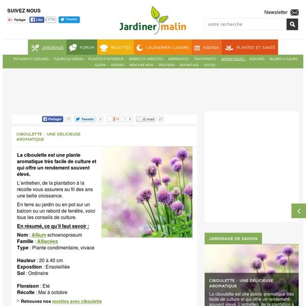 Ciboulette : culture, entretien, recolte