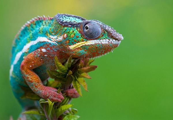 Colorful-chameleon.jpg (JPEG Image, 960×669 pixels)