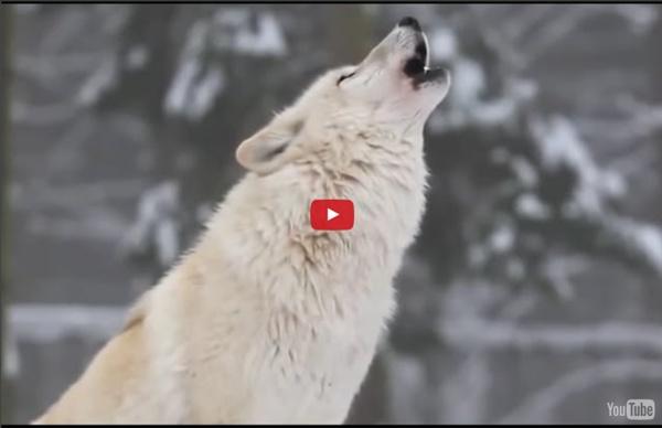 Comment le loups changent les rivières
