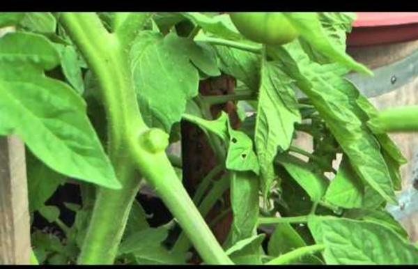 Comment enlever les gourmands et tailler ses tomates. Jardin de Balgan