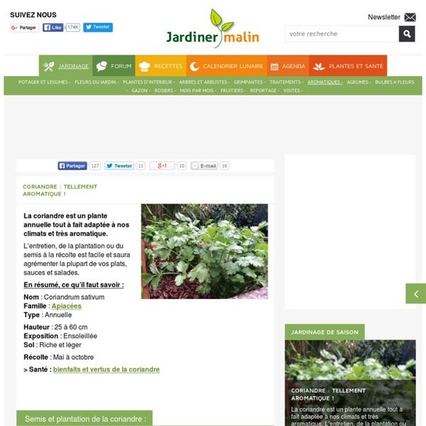 Coriandre : culture, semis, recolte