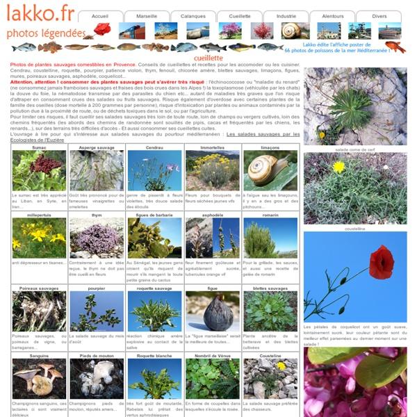 Cueillette de plantes sauvages comestibles en Provence