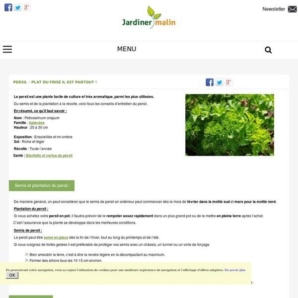 Persil : culture, entretien et récolte du persil