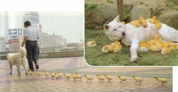 Mommy dog has ducklings