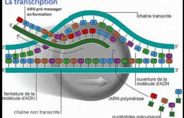 De l'ADN à l'ARNm
