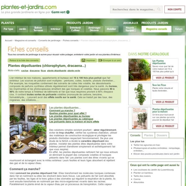 Plantes d polluantes chlorophytum dracaena pearltrees - Les plantes depolluantes purifier l air de la maison ...