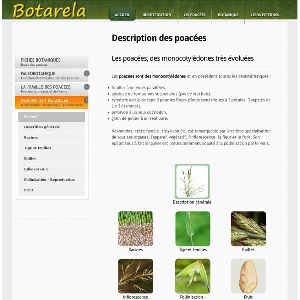Description detaillée des poacées - poaceae