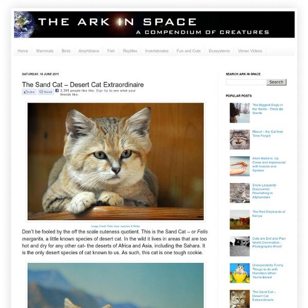 The Sand Cat – Desert Cat Extraordinaire