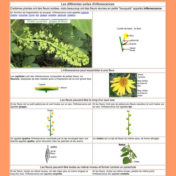 Les différentes sortes d'inflorescence