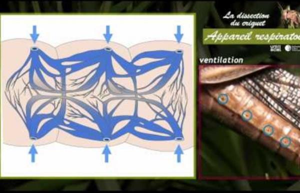 La dissection du criquet - appareil respiratoire - 4 sur 6