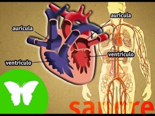 El aparato circulatorio (vídeo)