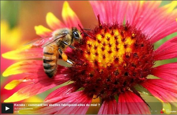 """Comment les abeilles fabriquent-elles du miel ? Vidéo 3'36"""""""