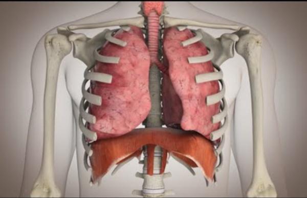El funcionamiento del sistema respiratorio