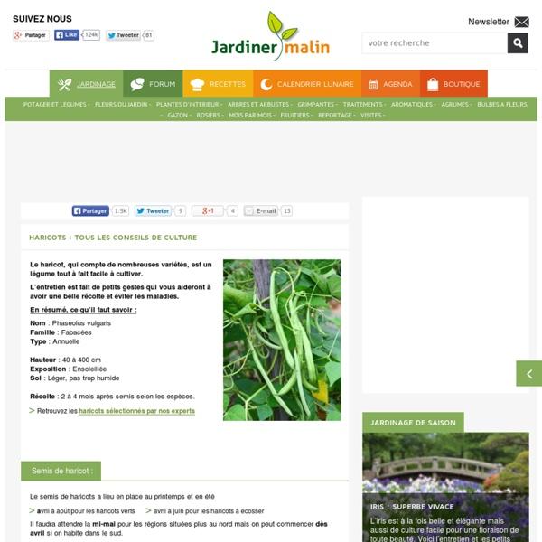 Haricot : semis, culture, récolte et entretien