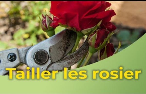 La taille des rosiers
