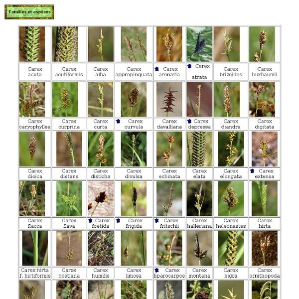 Laiches (Carex)