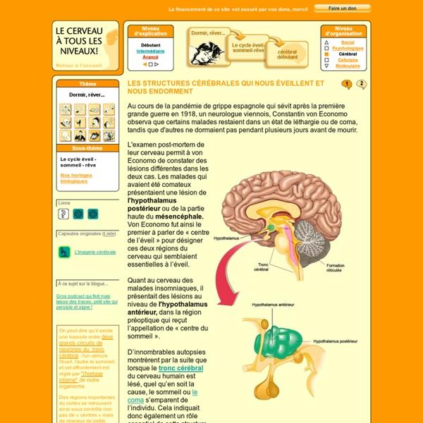 Les structures cérébrales qui nous éveillent et nous endorment