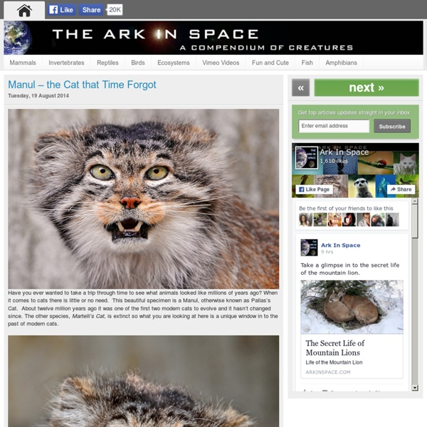 Manul – the Cat that Time Forgot
