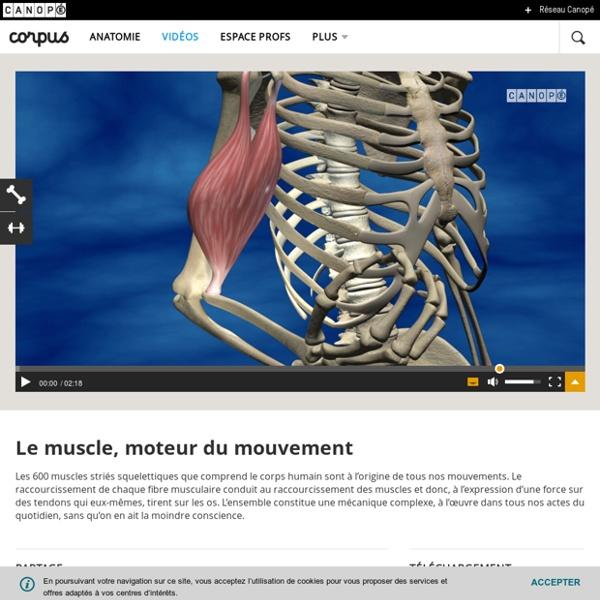 Le muscle, moteur du mouvement - Corpus - réseau Canopé