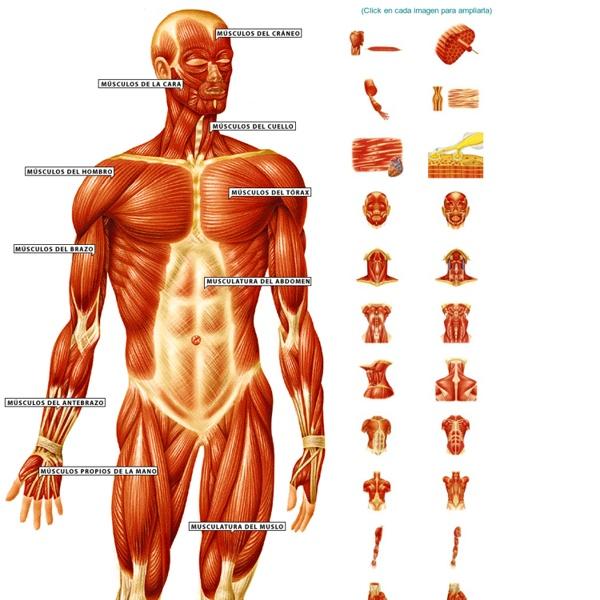 Los músculos del cuerpo humano en imágenes | Pearltrees