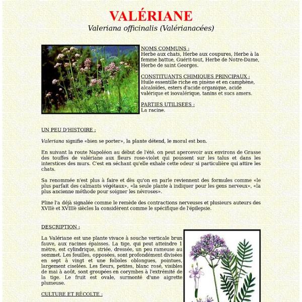 La valeriane en phytothérapie