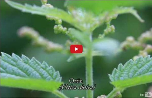 Plante médicinale : Ortie