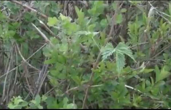 (8) Les plantes sauvages comestibles (partie 2)