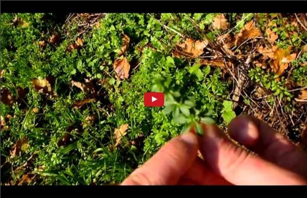 Survie - Les plantes sauvages comestibles