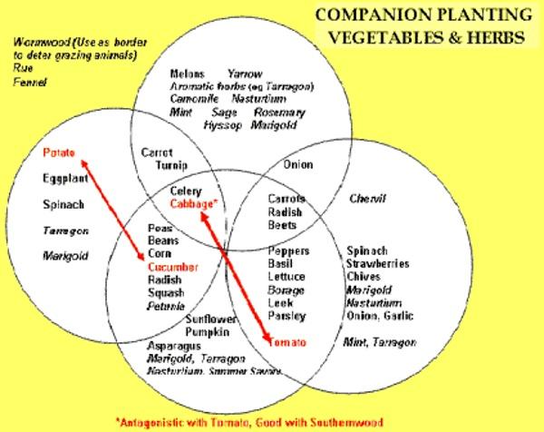 Planting-companion-vegetabl.gif (423×336)