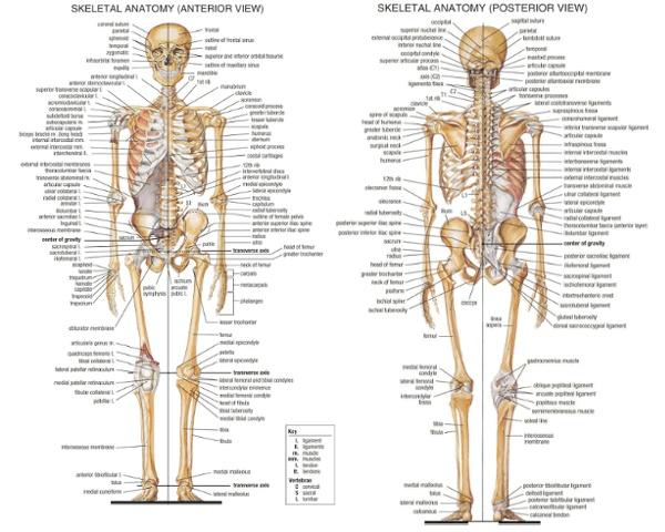 Skeleton.png (1500×1200)