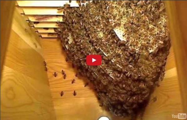 High speed summary of Life inside the Beehive / Snabbspolning genom livet i bisamhället