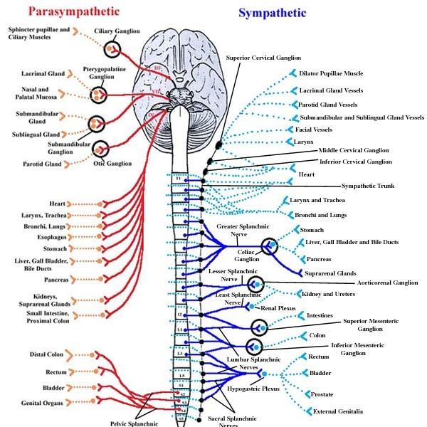Sympathetic+nervous+system.jpg (JPEG Image, 600x642 pixels)