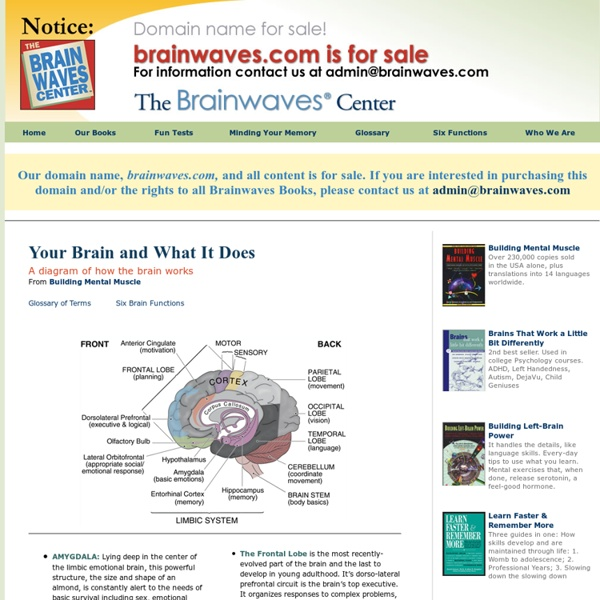 The Brain - Diagram and Explanation