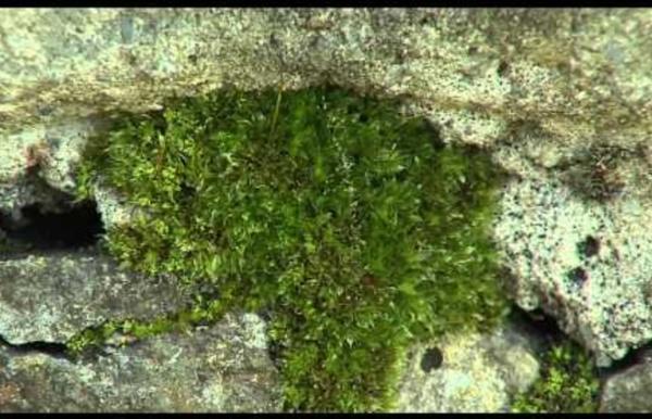 Les bryophytes, ces plantes secrètes qui nous entourent