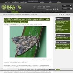 INRA 30/11/16 CRISPR/Cas9, efficace pour induire la perte d'olfaction chez un insecte ravageur de culture