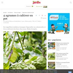 4 agrumes à cultiver en pot