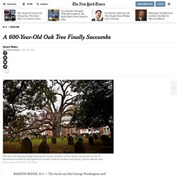 A 600-Year-Old Oak Tree Finally Succumbs