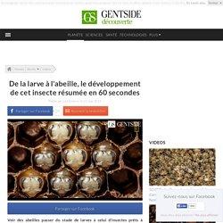 De la larve à l'abeille, le développement de l'insecte résumé en 60 secondes