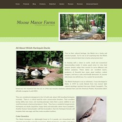 About Welsh Harlequin Ducks - Moose Manor Farms