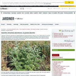 Absinthe (Artemisia absinthium), la grande absinthe