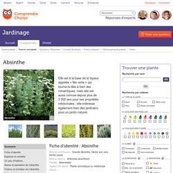 Absinthe: planter et cultiver des absinthes