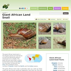 Giant African Land Snail (Achatina Fulica)