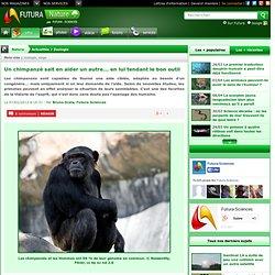 Un chimpanzé sait en aider un autre... en lui tendant le bon outil