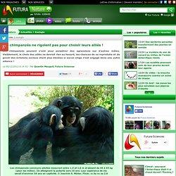 Les chimpanzés ne rigolent pas pour choisir leurs alliés !